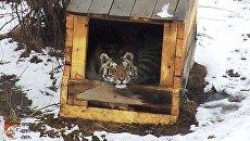 В Приморье выбрали имя Сайхан пострадавшему от браконьеров тигренку