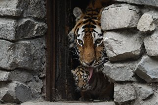 Амурская тигрица Лапа с детенышем в вольере Новосибирского зоопарка