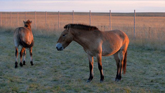 Центр реинтродукции лошади Пржевальского отметил первую годовщину
