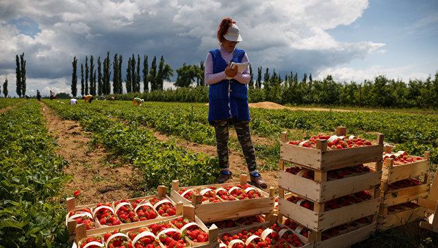 Сбор урожая клубники в посёлке Берёзовом Краснодарского края. Архивное фото