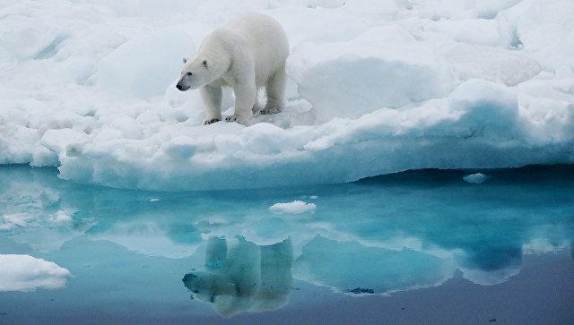 Белый медведь у острова Колючин