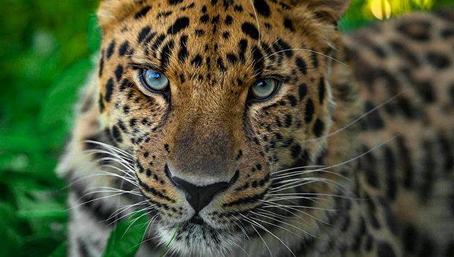Пятнистые итоги: что произошло с дальневосточным леопардом в 2017 году