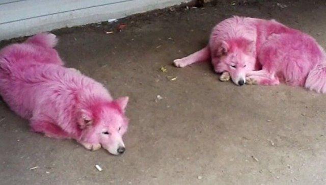 Окрашенные в розовый самоедские собаки