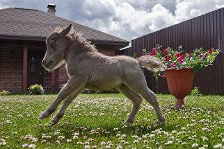 Жеребенок Гулливер на ферме Идальго по разведению американских миниатюрных лошадей в деревне Скотное, Ленинградская область