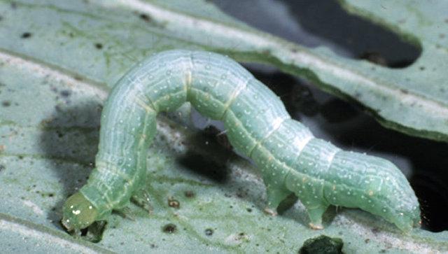 Учёные узнали, что превращает гусениц вканнибалов