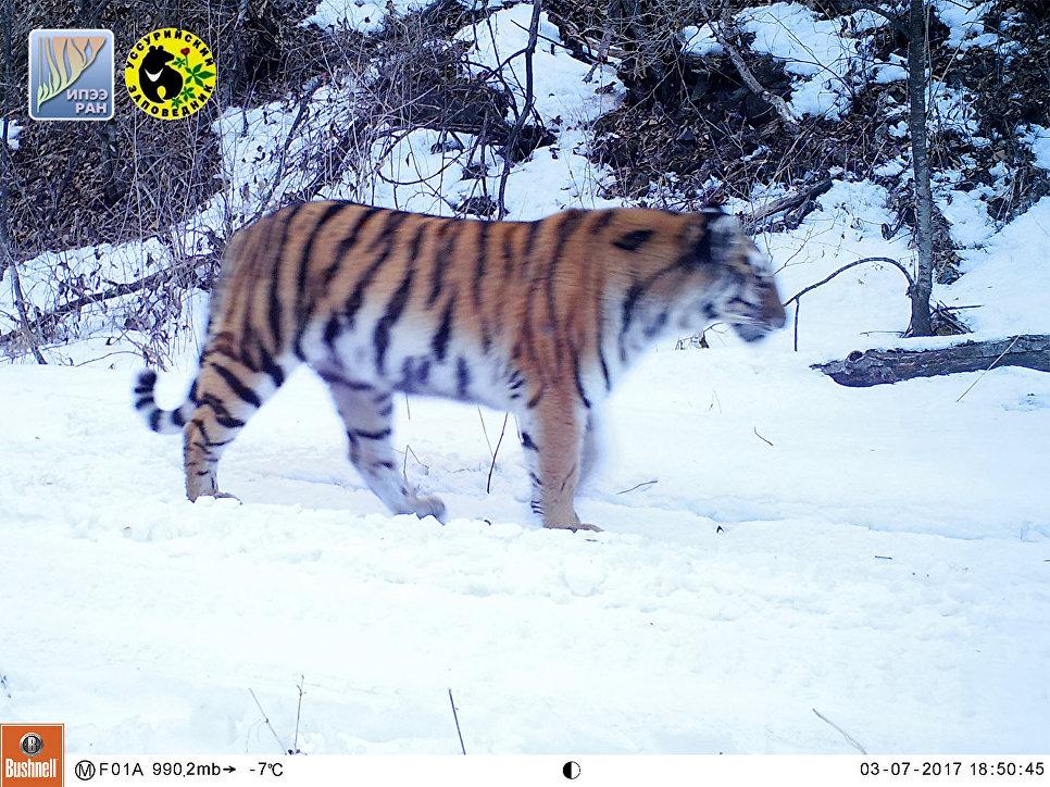 Молодая тигрица, появившаяся в Уссурийском заповеднике в 2016 году. На левом плече у тигрицы примерно месяц заживает рана. Март 2017 года