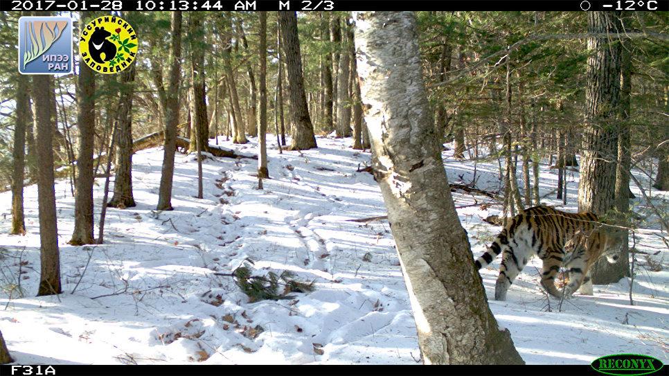 Молодая тигрица уходит от маркировочного дерева в Уссурийском заповеднике