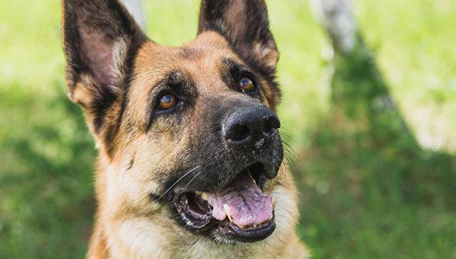 ВКемерове служебная собачка Бушуй помогла отыскать преступника