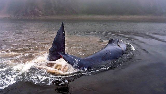 Застрявший гренландский кит на острове Большой Шантар