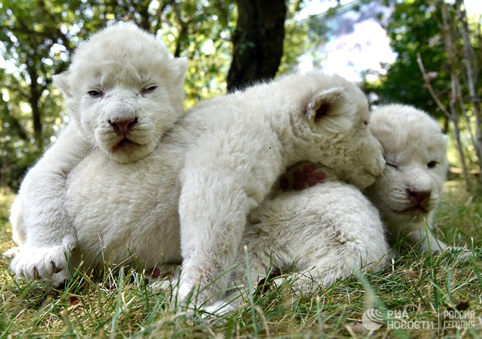 Четыре белых львенка, родившиеся в крымском сафари-парке Тайган