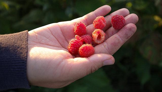 Инвесторы предложили создать в Пензенской области плантации малины