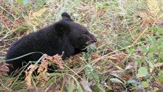 Гималайский медвежонок, выпущенный в дикую природу в Приморье. 19 сентября 2017