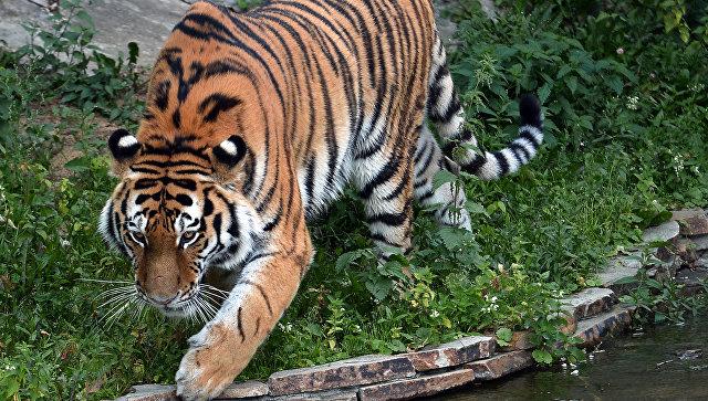 Путь тигра: истории о жизни хищников и их отношениях с человеком