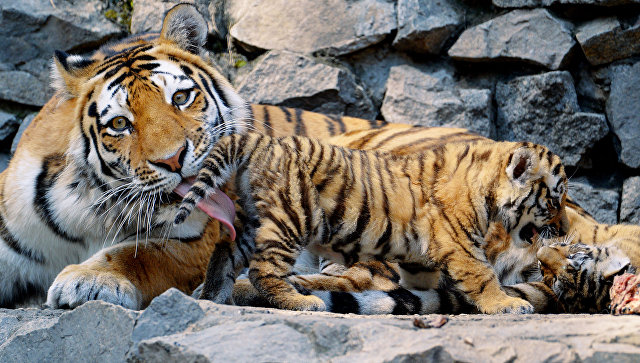 Численность амурских тигров вПриморье достигла около 460 особей