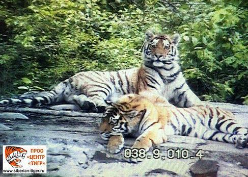 Тигры учатся вместе охотиться