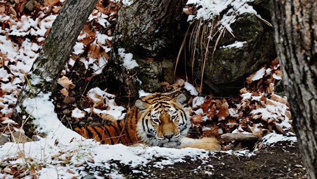 ВСША усыпили привезенного из РФ амурского тигра
