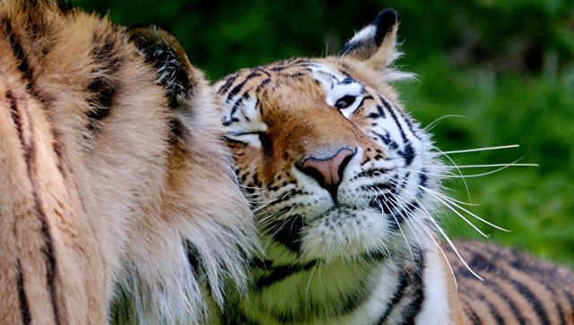 Амурский тигр. архивное фото
