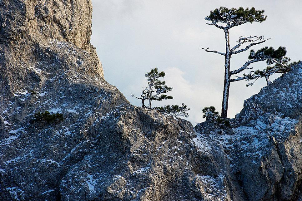 Сосны на горе Ай-Петри в Крыму.