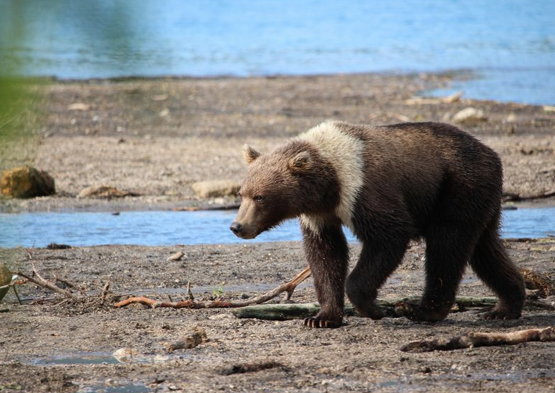 установка балок фото курильского белого медведя можете скачать презентации