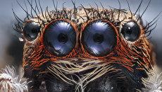 Глаза паучка. 6-кратное увеличение