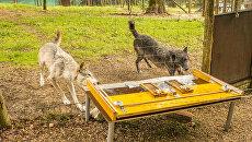 Волки сообща добывают себе пищу