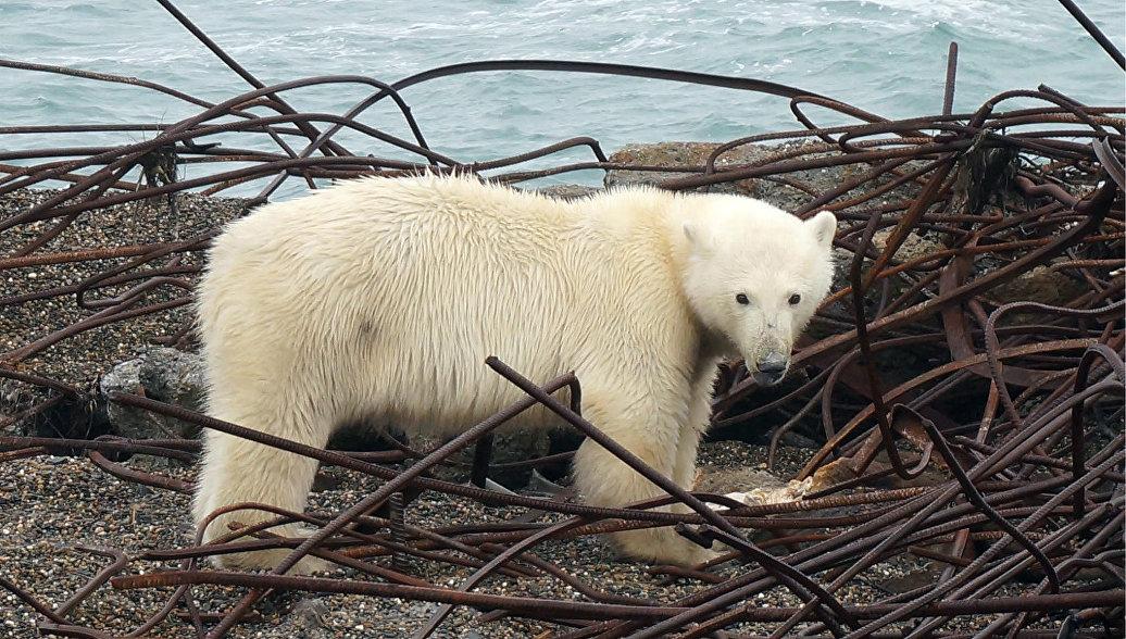 Около 20 белых медведей поселились рядом счукотским селом