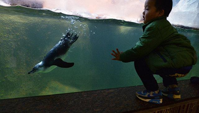 Ребенок наблюдает, как пингвин Гумбольдта плаваетпод водой в вольере в Московском зоопарке