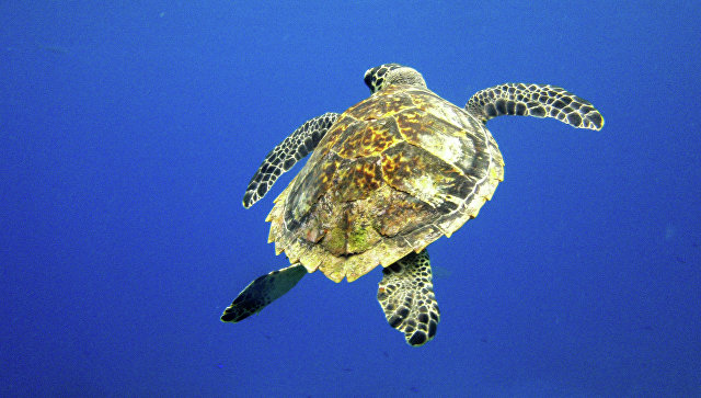 Американские военные спасли черепаху, запутавшуюся вкокаине