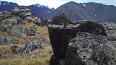 В природном парке Зона покоя Укок обнаружили ирбисов