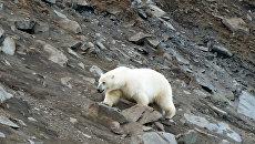Белый медведь у селя Рыркайпий