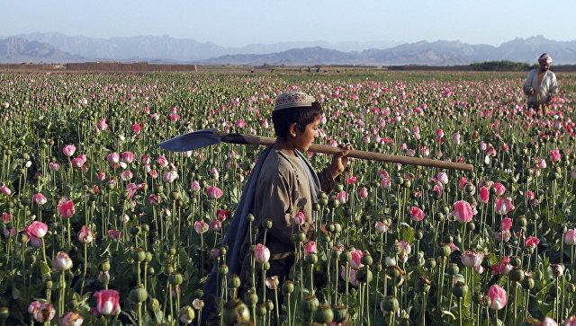 Сбор мака в Кандагаре, Афганистан