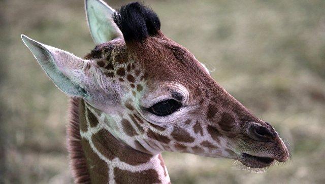 Жители Калининграда выбрали имя родившемуся в зоопарке жирафу