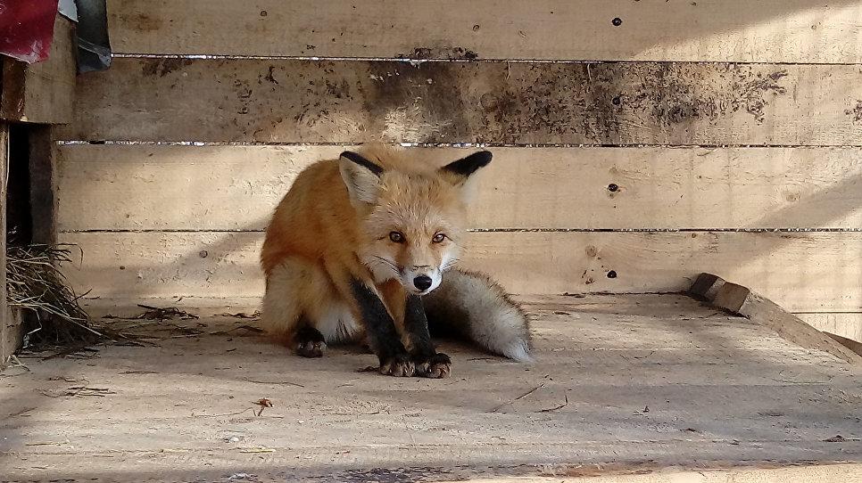 Кормят лисицу два раза в день. Корм богат витаминами и разнообразен, благодаря чему животное идет на поправку