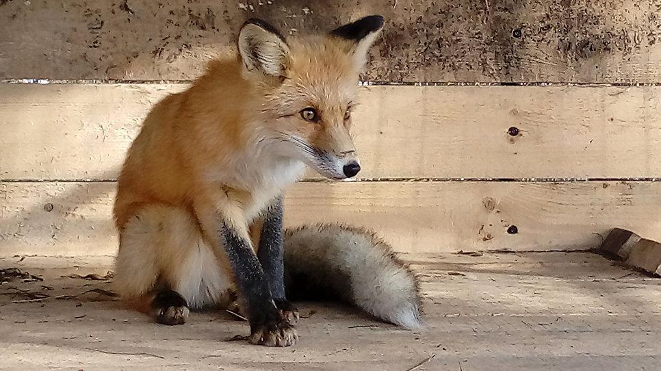 Сейчас у лисицы новая жизнь, к которой ей нужно будет привыкнуть
