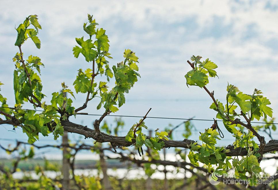 Виноградники винодельческого холдинга Inkerman International.