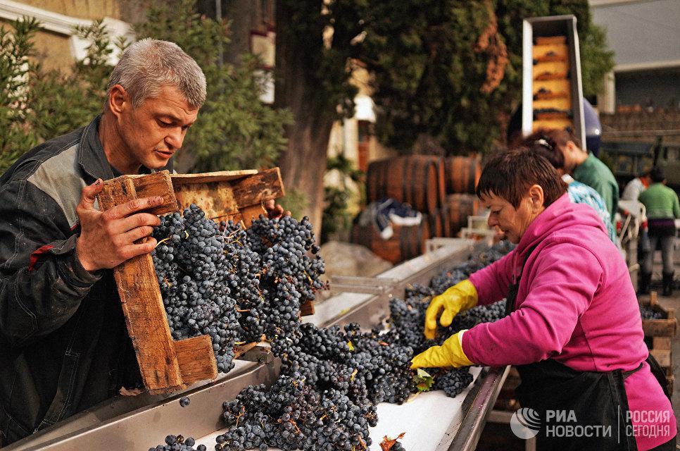 Осенью 2017 года на виноградниках ФГУП ПАО «Массандра» было собрано около 17 тысяч тонн винограда.
