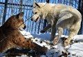 Канадская пума по кличке Пумка и щенок хаски по кличке Умка осваивают новую территорию в Приморском сафари-парке во Владивостоке