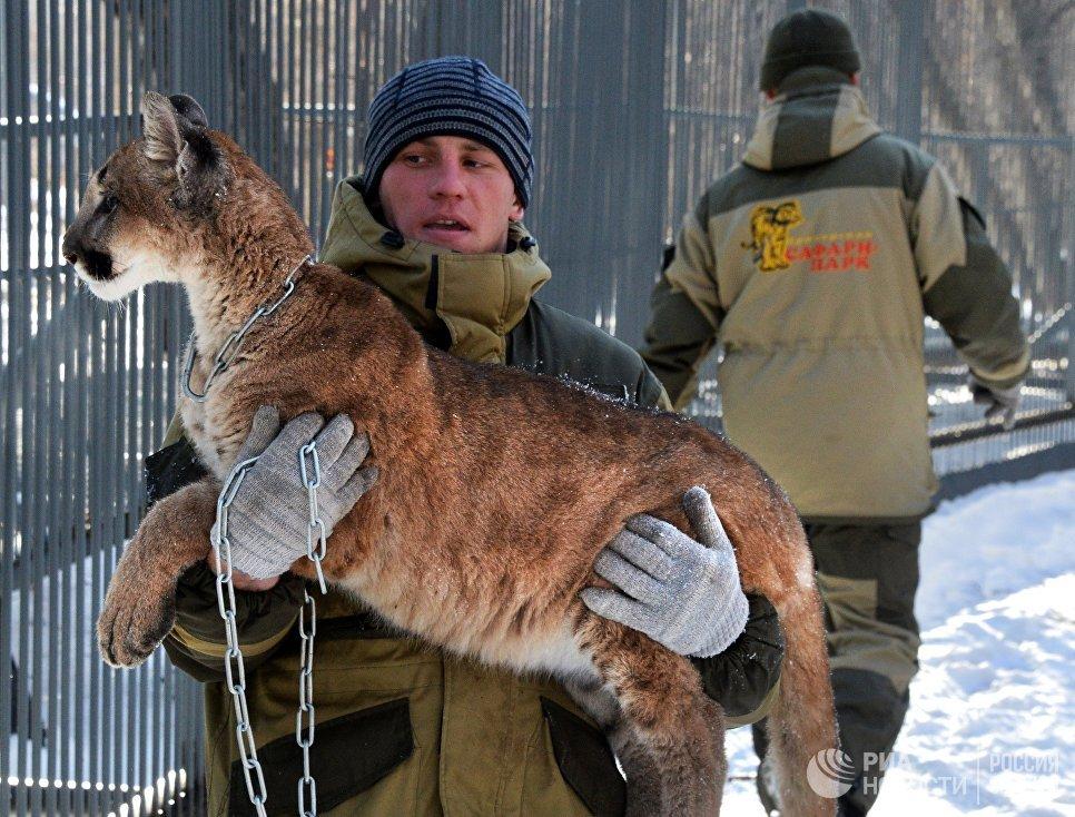 Канадская пума по кличке Пумка на руках у сотрудника Приморского сафари-парка во Владивостоке