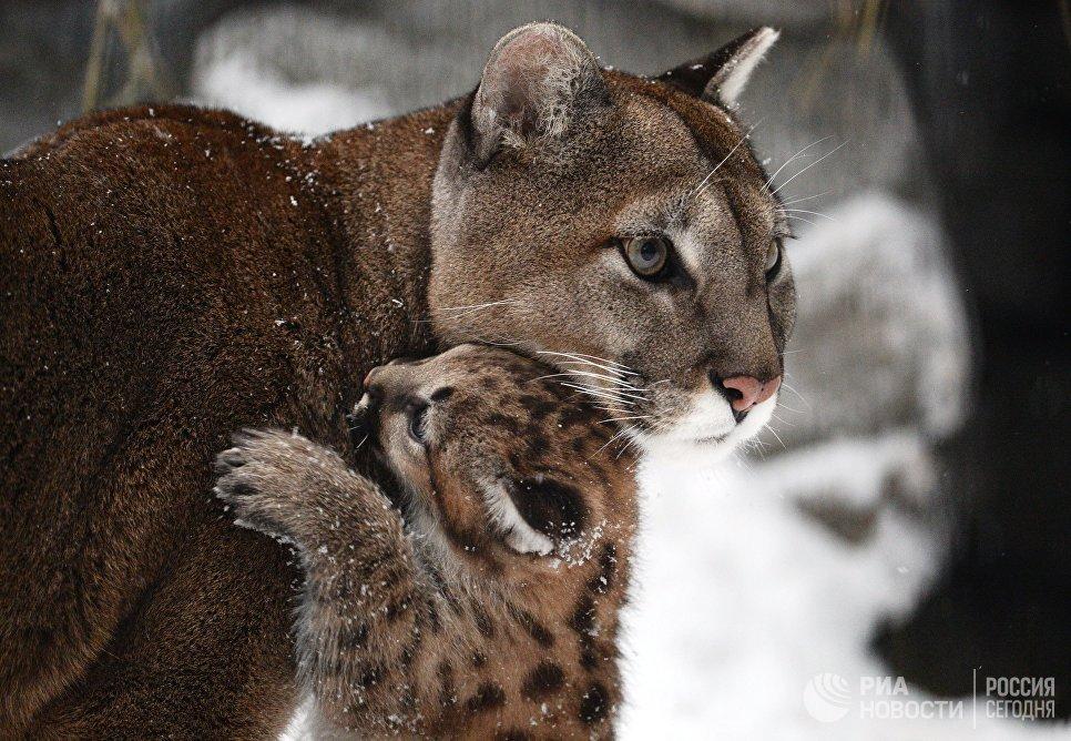 Самка пумы Милана с детенышем, родившимся в конце ноября 2017 в Новосибирском зоопарке имени Р.А. Шило
