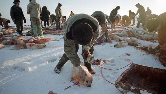 Охота на  детенышей тюленей. Архивное фото