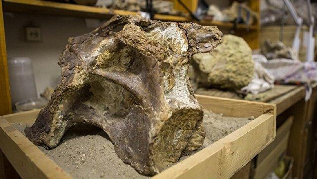 Окаменелость динозавра Sibirotitan astrosacralis. Архивное фото