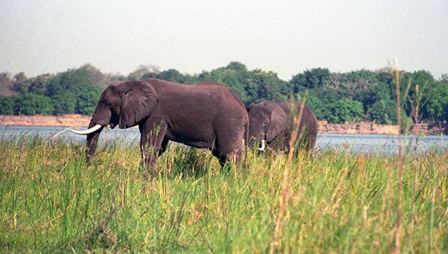 Слоны в Национальном парке Кафуэ