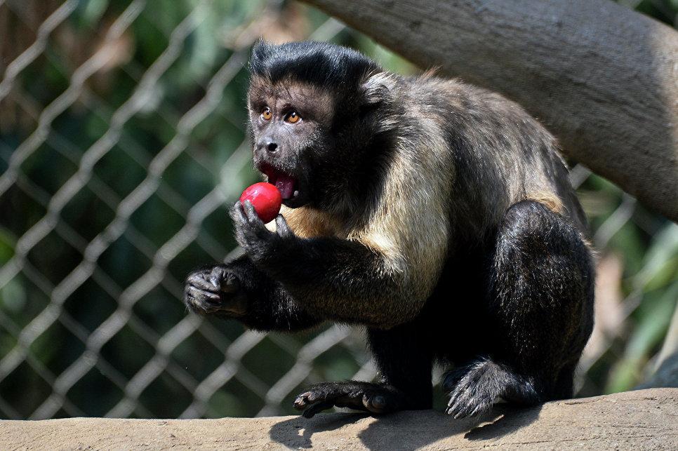 Онлайн секс человека с обезьяной