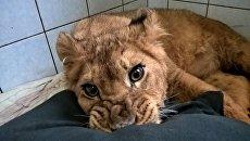 Львенок Эльза в центре помощи диким животным Велес в Ленобласти