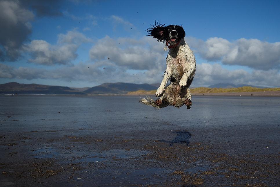 Пес прыгает за мячом во время прогулки в Ирландии