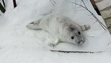 Серый тюлень, спасенный в Финском заливе