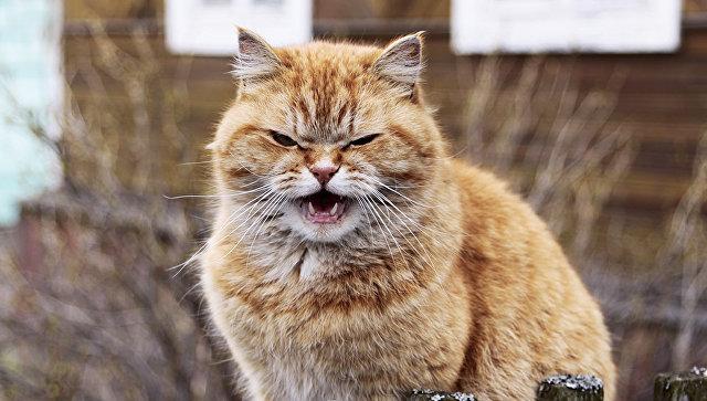 Кошки призывают брачных партнеров активнее, чем коты