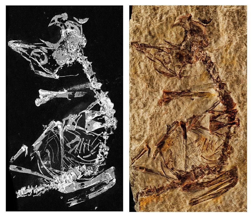 Палеонтологи нашли останки птенца одной из первых птиц на Земле