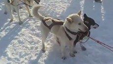 На Камчатке стартовала гонка на собачьих упряжках Берингия. Скриншот видео