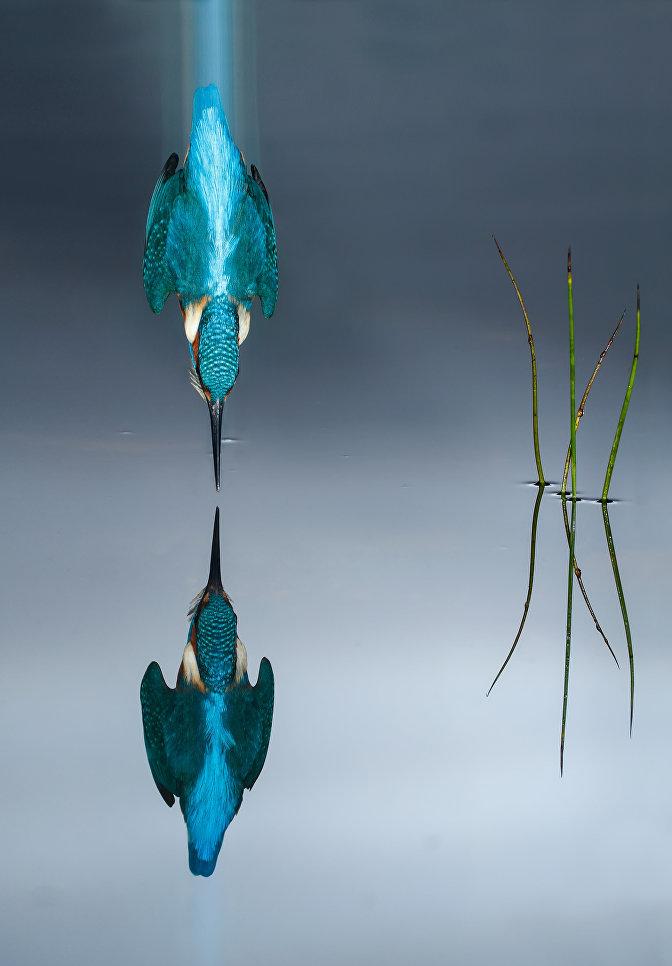 Обыкновенный зимородок ныряет в воду, Испания
